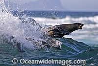Cape Fur Seal surfing breaking wave Photo - Chris & Monique Fallows