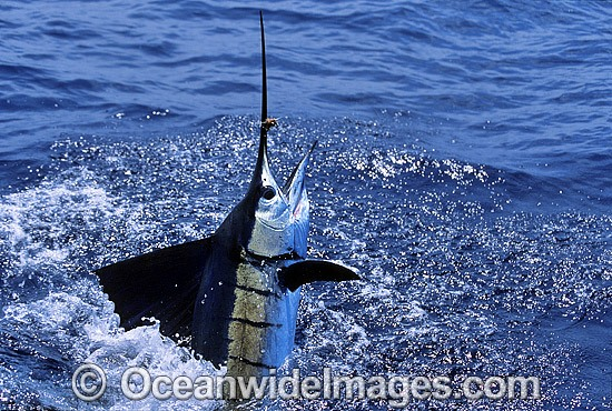 Sailfish (Istiophorus platypterus) breaching on surface after taking a bait. Also known as Indo-Pacific Sailfish or Billfish. Found throughout the Indo-Pacific
