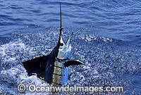 Sailfish breaching image