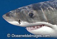 Great White Shark Carcharodon carcharias image
