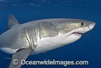 Great White Shark underwater Photo - Chris & Monique Fallows