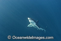 Great White Shark Photo - Chris & Monique Fallows