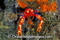 Google-eyed Fairy Crab Photo - Gary Bell