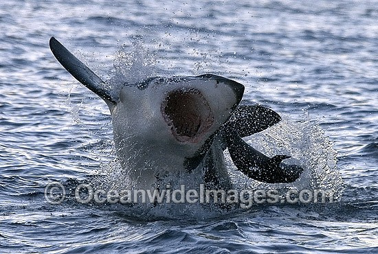 Great White Shark (Carcharodon carcharias) breaching on surface whilst attacking Cape Fur Seal (Arctocephalus pusillus pusillus). False Bay, South Africa. Protected species Classified as Vulnerable on the IUCN Red List.