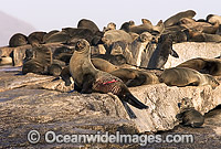 Cape Fur Seal Great White Shark wounds photo