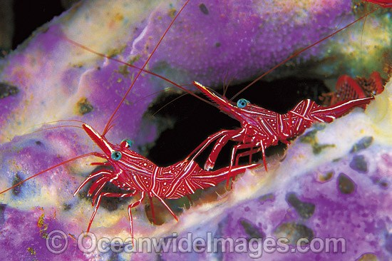Hinge-beak Shrimp (Rhynchocinetes durbanensis) on Sponge. Bali, Indonesia
