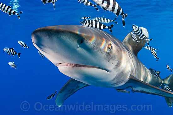 Oceanic Whitetip Shark (Carcharhinus longimanus). This oceanic shark is found worldwide in tropical and temperate seas. Photo taken in Mozambique Channel, located between the island of Madagascar and southeast Africa, Indian Ocean