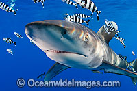 Oceanic Whitetip Shark Photo - Chris & Monique Fallows