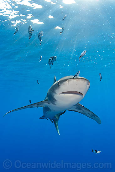 Oceanic Whitetip Shark (Carcharhinus longimanus). This oceanic shark is found worldwide in tropical and temperate seas. Photo taken in Mozambique Channel, located between the island of Madagascar and southeast Africa, Indian Ocean Photo - Chris & Monique Fallows