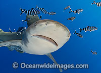 Oceanic Whitetip Shark Carcharhinus longimanus Photo - Chris & Monique Fallows