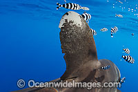 Oceanic Whitetip Shark dorsal fin Photo - Chris & Monique Fallows
