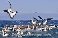 Cape Gannets feeding behind fishing trawler Photo - Chris & Monique Fallows