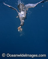 Wedge-tailed Shearwater diving under surface image