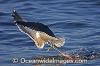 Kelp Gull feeding on Seal entrails image
