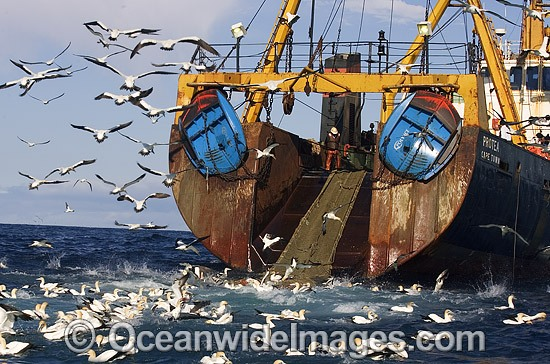 Cape Gannets feeding behind fishing trawler