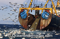 Cape Gannets feeding behind fishing trawler photo