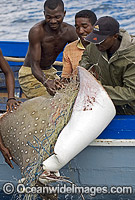 White-spotted Eagle Ray caught in gill net Photo - Chris & Monique Fallows
