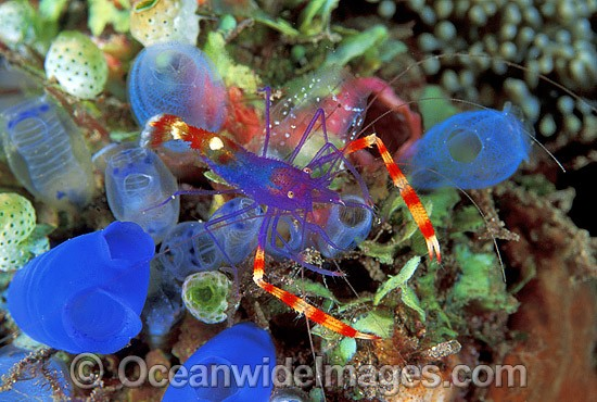 Cleaner Shrimp (Stenopus tenuirostris) on Sea Tunicates. Bali, Indonesia