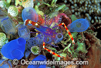Cleaner Shrimp Stenopus tenuirostris Photo - Gary Bell