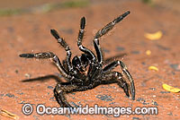 Trapdoor Spider Misgolas sp. Photo - Gary Bell
