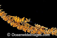 Commensal Whip Shrimp on Whip Coral Photo - Gary Bell