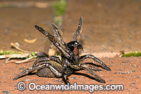 Trapdoor Spider in defence posture Photo - Gary Bell