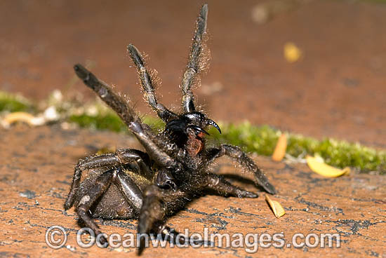 Trapdoor Spider (Misgolas sp.) - male in defence posture. Trapdoor Spiders are often mistaken for Funnel-web Spiders as they look very similar, however, unlike Funnel-web Spiders, Trapdoor Spider are not dangerous. Coffs Harbour, NSW, Australia Photo - Gary Bell