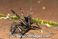 Trapdoor Spider male striking Photo - Gary Bell