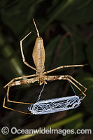 Deinopis subrufa Web-throwing Spider image