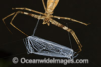 Net-casting Spider Deinopis subrufa photo