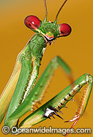 Garden Praying Mantid Photo - Gary Bell