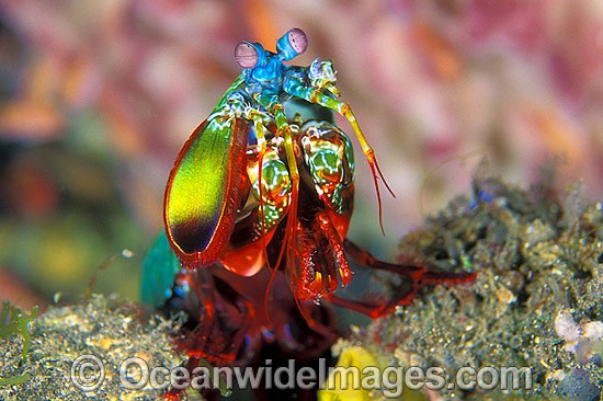 Mantis Shrimp Odontodactylus scyallarus photo
