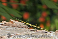 Stick Insect Photo - Gary Bell
