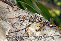 Titan Stick Insect Acrophylla titan Great Brown Stick Insect Photo - Gary Bell