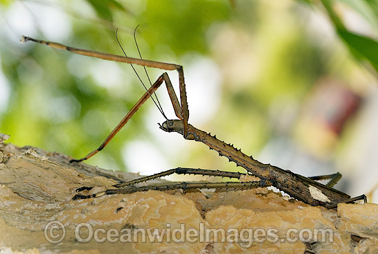 Titan Stick Insect (Acrophylla titan). Also known as Great Brown Stick Insect and Great Brown Phasma. Largest known insect in Australia. Coffs Harbour, New South Wales, Australia Photo - Gary Bell
