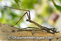 Titan Stick Insect Acrophylla titan Photo - Gary Bell