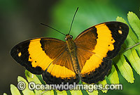 Australian Rustic Butterfly Cupha prosope Photo - Gary Bell