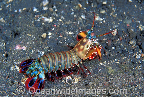 Mantis Shrimp (Odontodactylus scyallarus). Found on sand and rubble throughout the Indo-Pacific. Photo taken at Tulamben, Bali, Indonesia Photo - Gary Bell