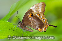 Ulysses Butterfly Papilio ulysses Photo - Gary Bell