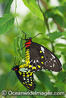 Cairns Birdwing Butterfly mating Photo - Gary Bell