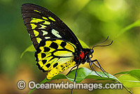 Cairns Birdwing Butterfly Photo - Gary Bell