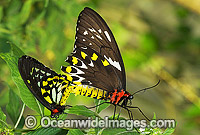Cairns Birdwing Butterfly Ornithoptera priamus Photo - Gary Bell