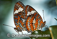 Orange Lacewing Butterfly mating Photo - Gary Bell