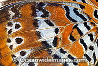 Orange Lacewing Butterfly wing Photo - Gary Bell