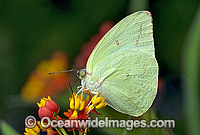 Lemon Migrant Butterfly Catopsilia pomona Photo - Gary Bell