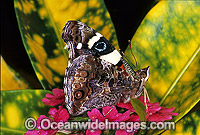 Yellow Admiral Butterfly Photo - Gary Bell