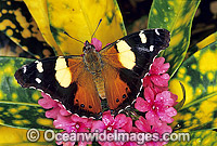 Yellow Admiral Butterfly Vanessa itea Photo - Gary Bell