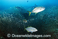 Big-eye Trevally Caranx sexfasciatus Photo - Gary Bell