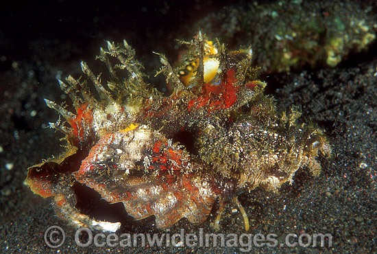 Devil Stinger Scorpionfish (Inimicus didactylus). Also known as Devilfish or Demon Stinger. Possess venomous spines. Indo-Pacific