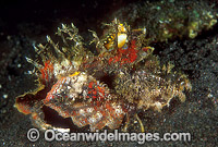 Devil Stinger Scorpionfish Inimicus didactylus photo